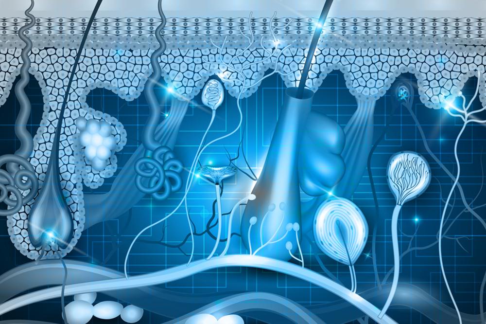 Haaranatomie. 1. Teil – innere, subkutane Haarbildung
