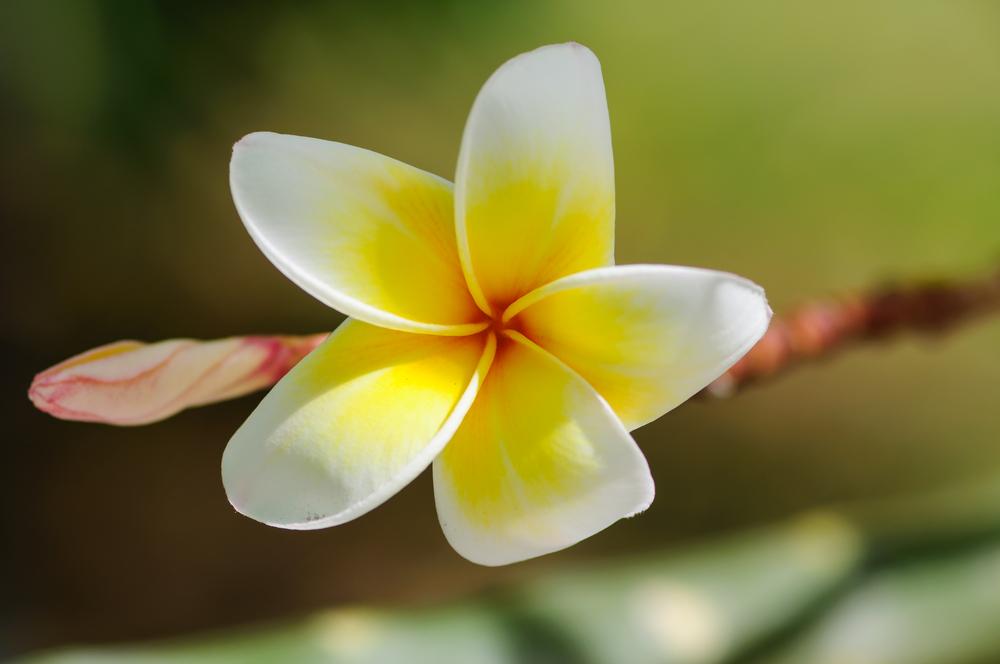 Monoi-Öl für Haare – berauschender und duftender Ankömmling aus Tahiti